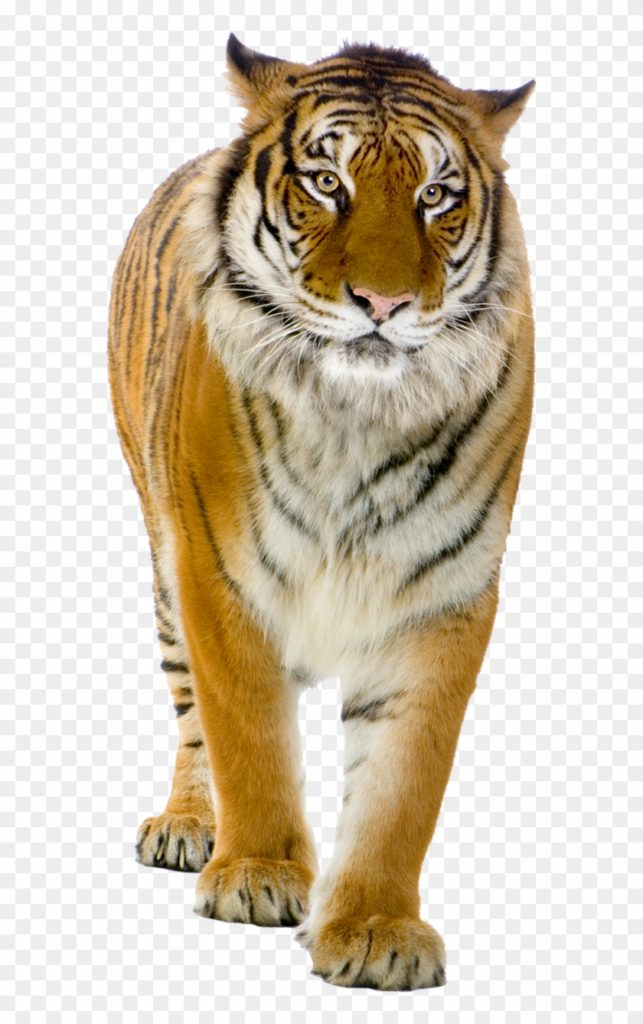 252-2523479_tiger-png-front-view-photo-walking-tiger-png
