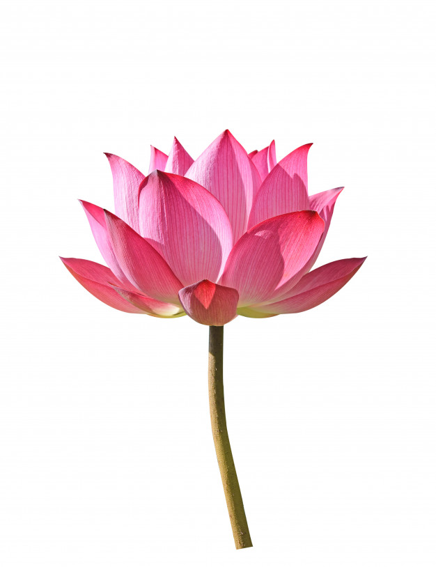 lotus-flower-white-background_62678-128